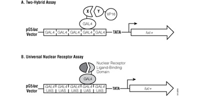 The two-hybrid assay and universal nuclear receptor assay.
