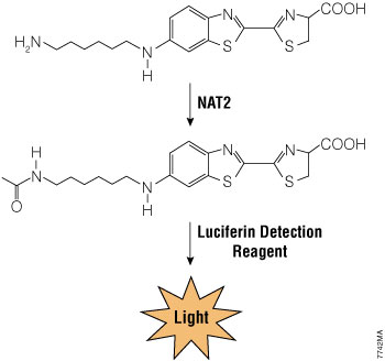 Schematic of Luciferin-NAT2 reaction.