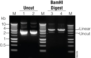 Example of plasmid purified with the PureYield Plasmid Maxiprep System and separated by agarose gel electrophoresis.